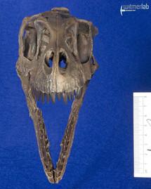Dromaeosaurus_DSC_8533.JPG