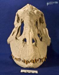 majungasaurus_DSC_9444.JPG