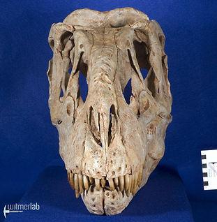 tarbosaurus_DSC_9141.JPG