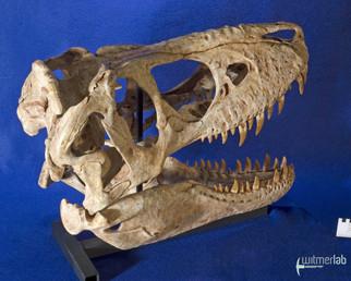 tarbosaurus_DSC_9077.JPG