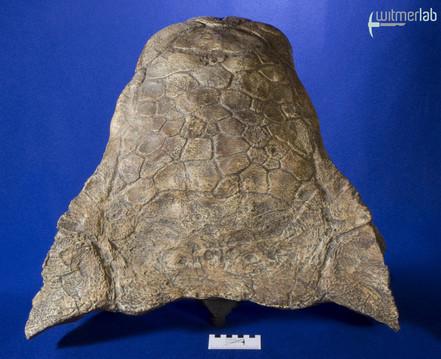 ankylosaurus_DSC_7085.JPG