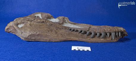 gorgosaurus_DSC_8949.JPG