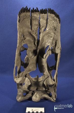 apatosaurus_DSC_1832.JPG
