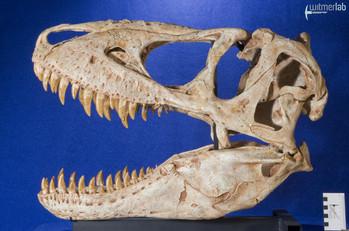 tarbosaurus_DSC_9056.JPG