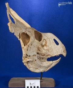 protoceratops_DSC_2200.JPG