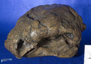 Panoplosaurus_DSC_7435.JPG
