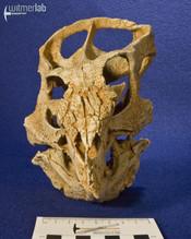 archaeoceratops_DSC_1393.JPG