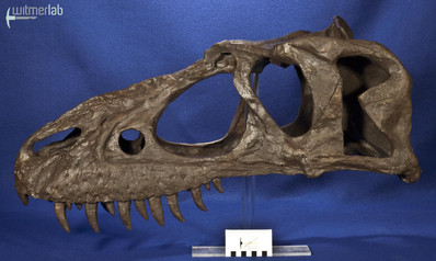 gorgosaurusROM_DSC_1497.JPG