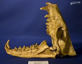 hyaenodon_DSC_0327.JPG