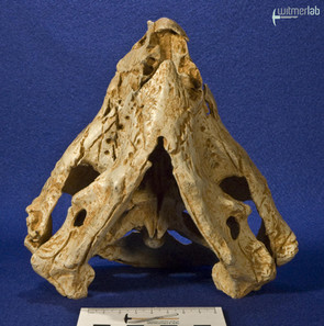 auroraceratops_DSC_1202.JPG