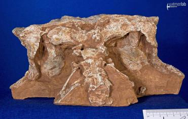 pinacosaurus_large_DSC_6922.JPG