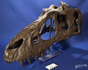 gorgosaurusROM_DSC_1513.JPG