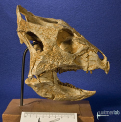 archaeoceratops_DSC_1209.JPG