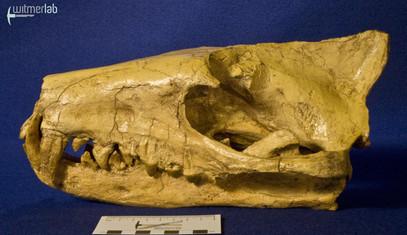 hyaenodon_DSC_0259.JPG