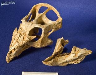 archaeoceratops_DSC_1363.JPG