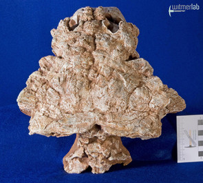 pinacosaurus_large_DSC_6933.JPG