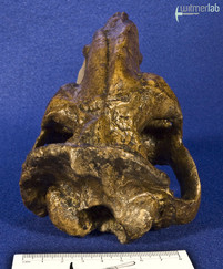 thylacosmilus_DSC_0660.JPG