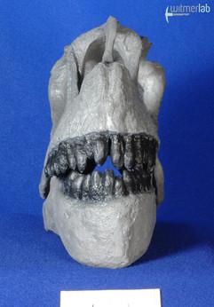 Camarasaurus_lentus_DSC_0418.JPG