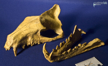 hyaenodon_DSC_0245.JPG