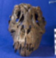 tyrannosaurus_stan_DSC_8848.JPG