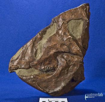 leptoceratops_DSC_0935.JPG