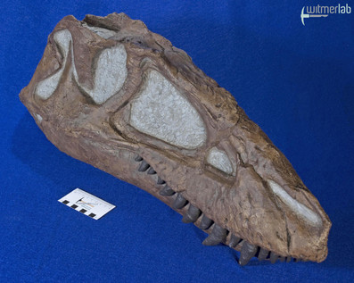 gorgosaurus_DSC_8931.JPG