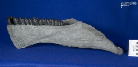 Camarasaurus_grandis_DSC_0485.jpg