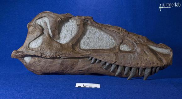 gorgosaurus_DSC_8937.JPG