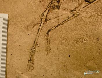 pterodactylus_DSC_8215.JPG