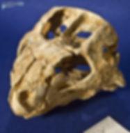 auroraceratops_DSC_1189.JPG