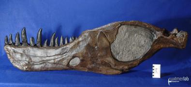 tyrannosaurus_AMNH_DSC_9317.JPG