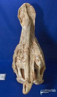 saurolophus_DSC_0822.JPG
