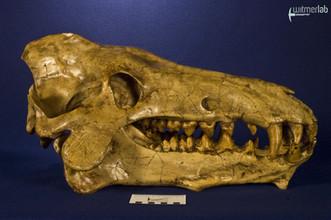 archaeotherium_DSC_0678.JPG
