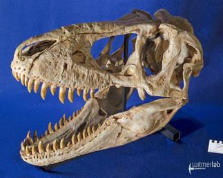 tarbosaurus_DSC_9081.JPG