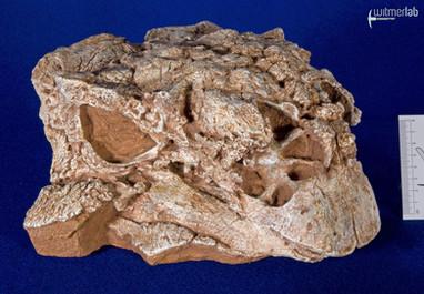 pinacosaurus_large_DSC_6930.JPG