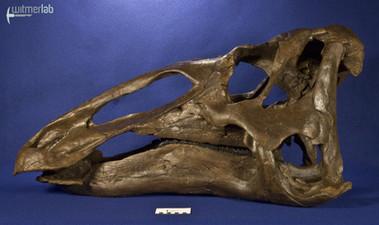 edmontosaurus_DSC_1081.JPG
