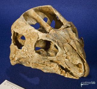 auroraceratops_DSC_1183.JPG