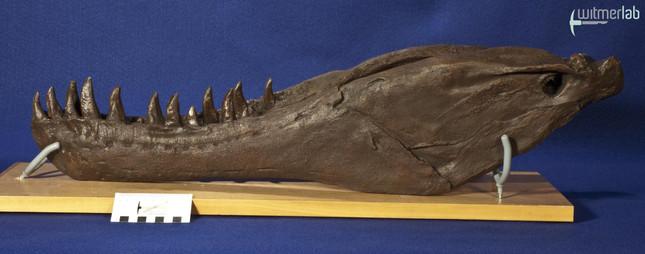 gorgosaurusROM_DSC_1550.JPG