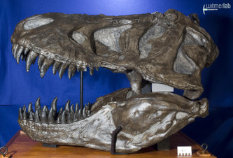 tyrannosaurus_AMNH_DSC_9609.JPG