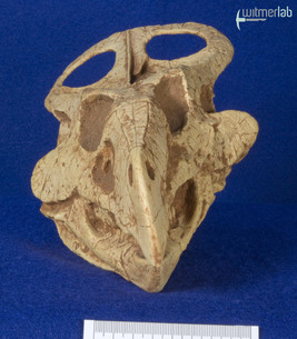 protoceratops_DSC_0656.jpg