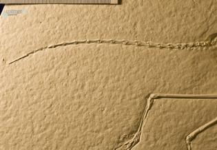 archaeopteryx_sp_DSC_8417.JPG