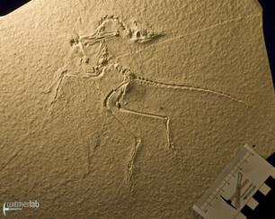 archaeopteryx_sp_DSC_8553.JPG