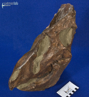 leptoceratops_DSC_0923.JPG