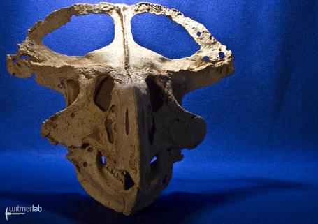 protoceratops_DSC_2259.JPG
