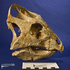 archaeoceratops_DSC_1399.JPG