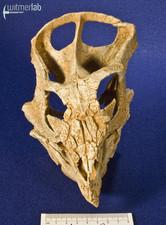 archaeoceratops_DSC_1382.JPG