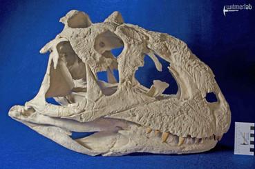 Majungasaurus_DSC_8982.JPG