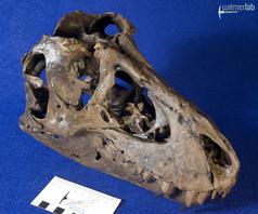 tyrannosaurus_stan_DSC_8868.JPG