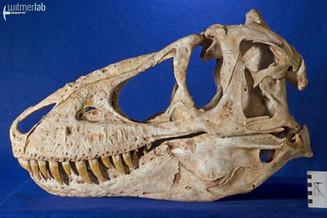 tarbosaurus_DSC_9105.JPG