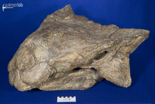 ankylosaurus_DSC_7077.JPG